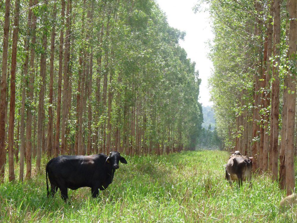 agroforesterie vache